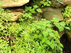 herb-basilbypond